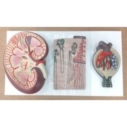 Μοντέλα Νεφρού