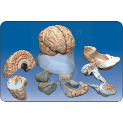 Μοντέλα Ανθρώπινου Εγκεφάλου