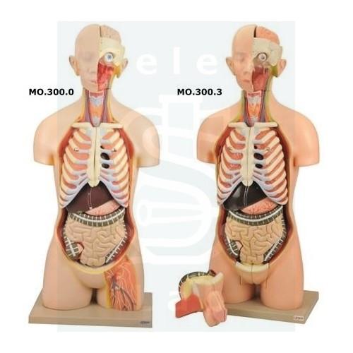 Μοντέλα Ανθρώπινου Κορμού