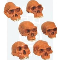 Μοντέλα Ανθρώπινων Εξελικτικών Κρανίων